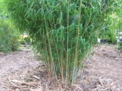 Nepalese Blue Bamboo