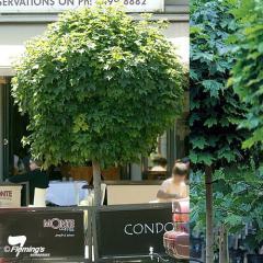 Acer (Maple)/Acer platanoides 'Globosum'