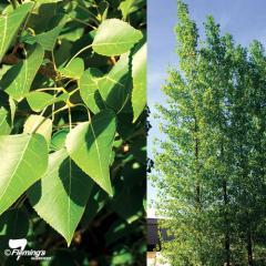 Populus (Poplar)/Populus deltoides x P.