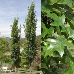 Quercus (Oak)/Quercus palustris