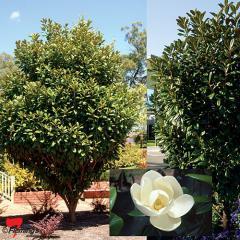 Magnolia grandiflora 'MGTIG' Greenback®