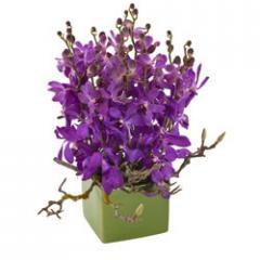 Maya Orchids