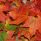Maple Tree, Acer Saccharum