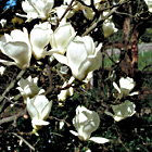 Magnolia Tree, Denudata