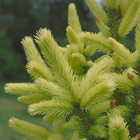 Conifer Trees, Picea Pungens Raymur Springs