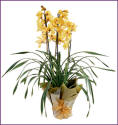 Living Orchid
