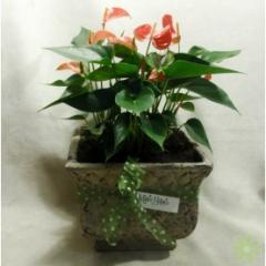 Triple Anthirium Planter