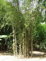 Arnhem bamboo