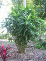 Thysanolaena maxima - Tiger Grass