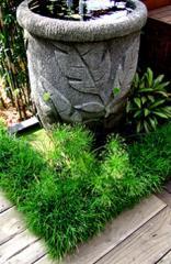Pogonatherum paniceum (dwarf panda bamboo)