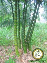 Bambusa Vulgaris Wamin