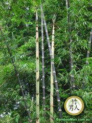 Black Asper Dendrocalamus Asper Hitam