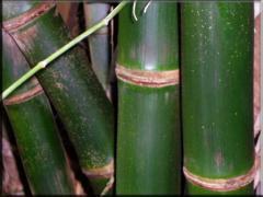 Bambusa Balcoa