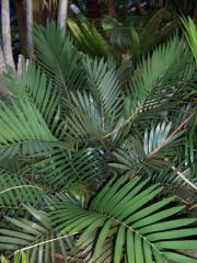 Macrozamia Plant