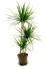 The Dragon Plant