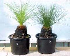 Rosemount Grass Trees