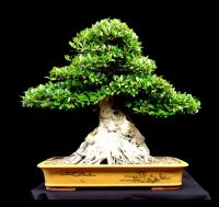 Bonsai Services