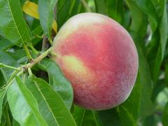 Fruit Trees Available