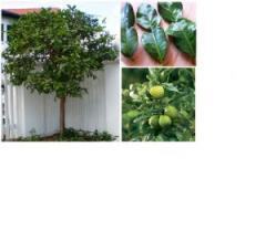 Citrus Hystrix Tree