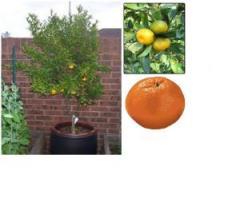 Citrus Reticulata Tree