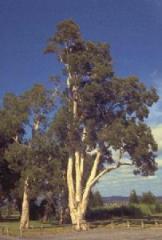 Melaleuca Quinquinervia Tree