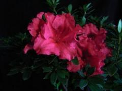 Azaleas Flowers