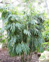 Ghost Bamboo Dendrocalamus minor 'amoenus'