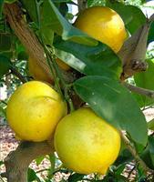 Citrus Limon Lemon Eureka