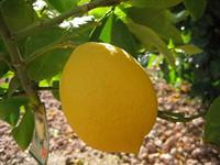 Citrus Limon Lemon Lisbon