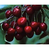 Prunus Avium Cherry Stella