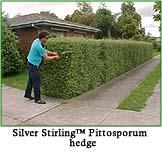 Silver Stirling Pittosporum