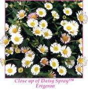 Daisy Spray Erigeron