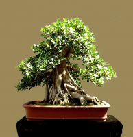 Bonsai Available