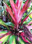 Cordylines Plants