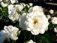 Standard White Iceberg Rose