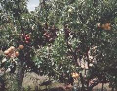 Stonefruit Tree
