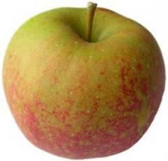Cornish Aromatic Apple Trees