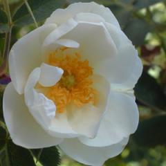 Alba Semi Plena Rose