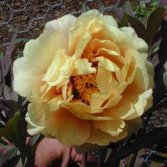 Age of Gold Peony