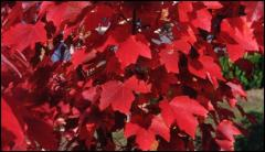 Our Maple Trees
