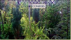 Our Conifer Trees