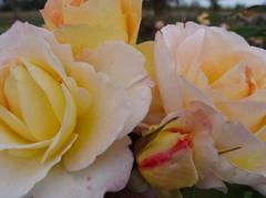 Flirtatious Rose