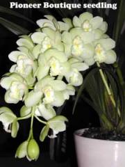Pioneer Orchids