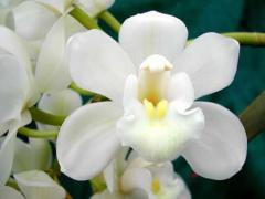 Shooting Star Orchid