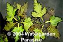 Ceratopteris Pteridoides Plant