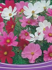 Cosmos Sensation Tall Flower