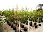 Pyrus Ussuriensis Plant