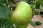 Bramley's Seedling Apples