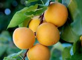 Moorpark Apricots
