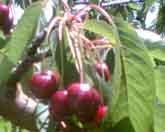 Burgsdorf  Cherries